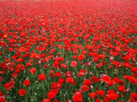 RM49-赤いポピー(ひなげし)Red Poppies